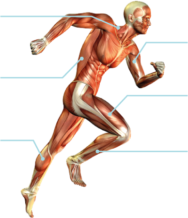 Lichaam-spieren-sport-en-masssage-bodegraven